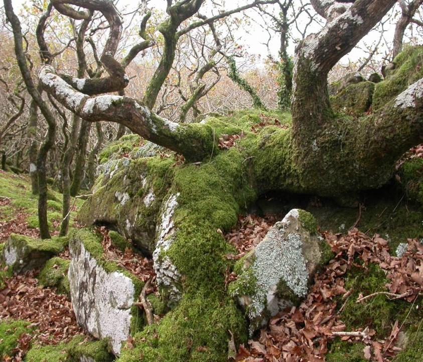 Twisted Oak stems