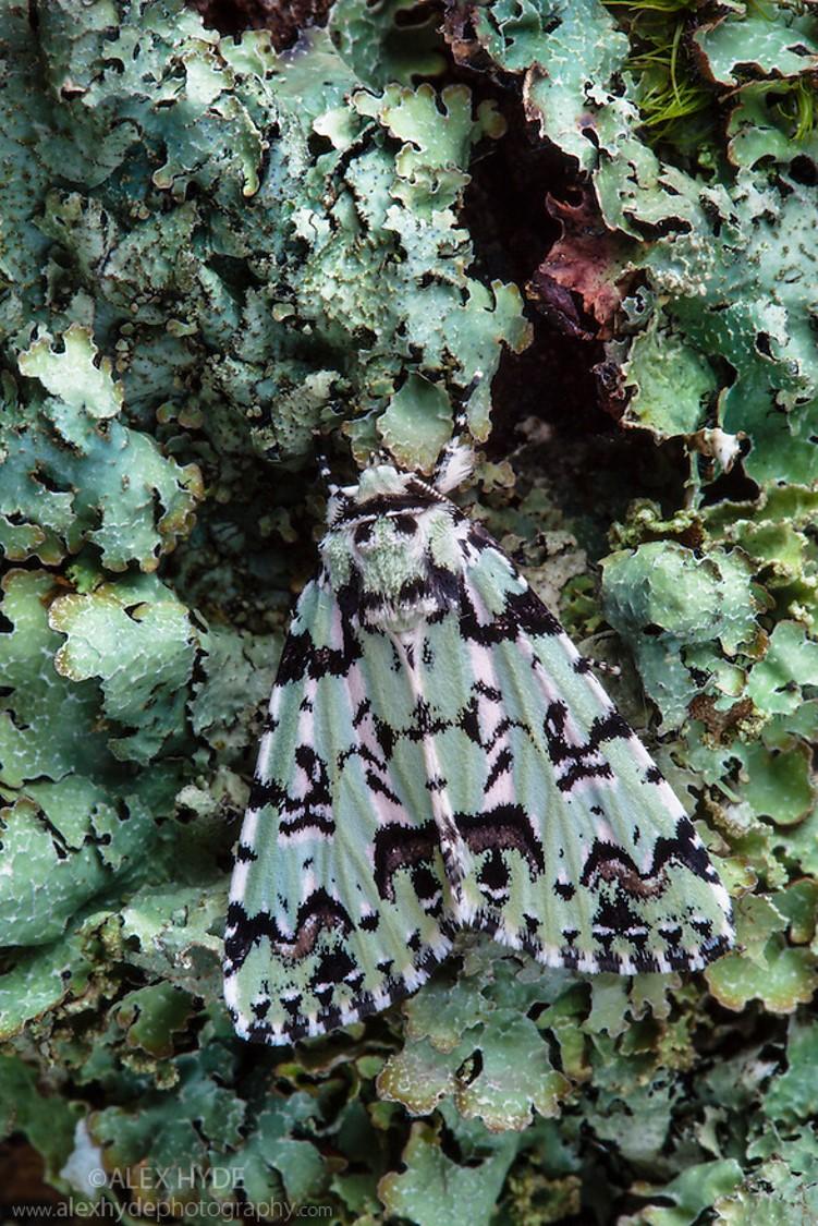 Merveill du Jour Moth